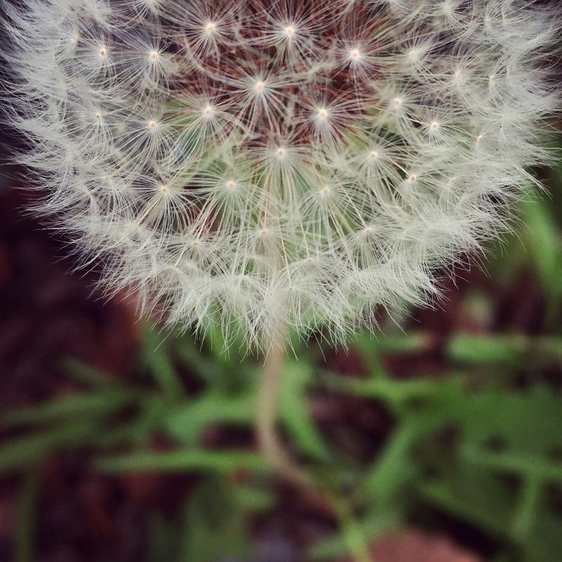 Dandelion by Tracey Clark