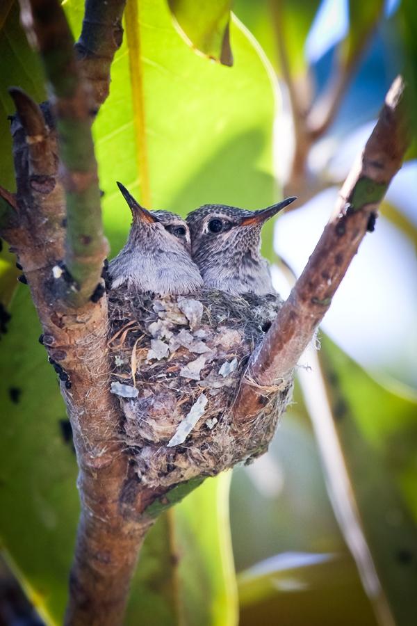 2-baby-hummingbirds-in-nest