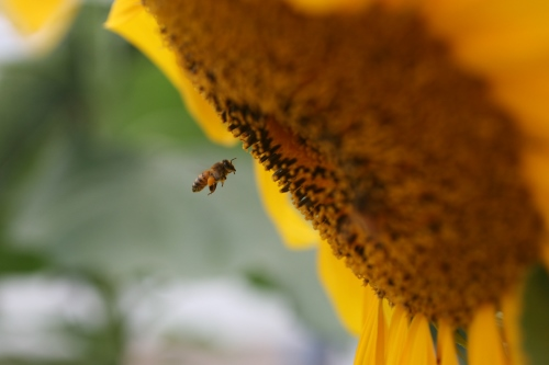 Honey Bee by Tracey Clarkshot with Canon 50mm Compact Macro Lens
