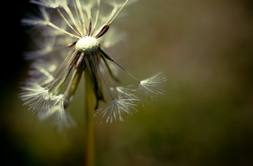 Dandelion by Tracey Clark shot with Canon 50mm Compact Macro Lens
