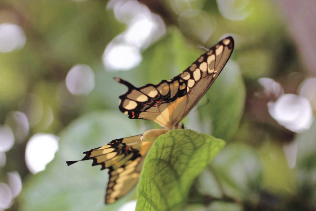 A new swallotail butterfly ready to take flight from a green leaf.