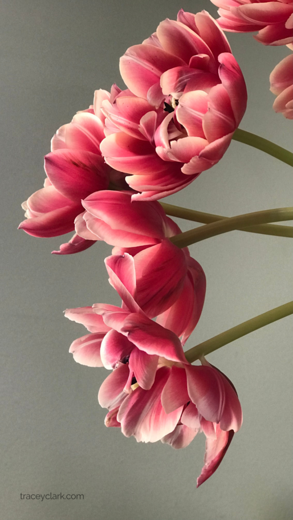 Pink Tulips by Tracey Clark to use for phone wallpaper. Personal use only.